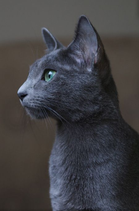 Image result for russian blue beautiful cats
